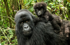 Gorilla Safari & Lake Bunyonyi