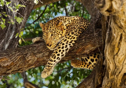 Leopard In Tree. Okavango Delta, Moremi Game Reserve, Botswana