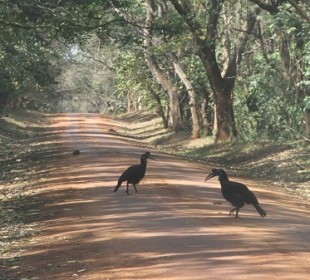 12-Day Birding & Wildlife Safari in Uganda