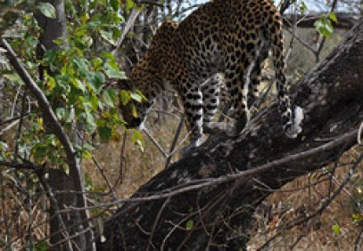 Leopard Luxury Mobile Safari