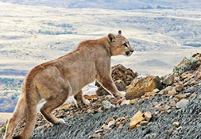 Pumas of Torres del Paine