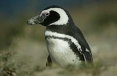 Patagonia Penguin Adventure