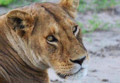 The Big Badger Safari