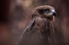 Birding Safari, Upper Assam & Mishmi Hills