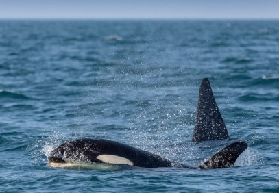 Orcas and Aurora