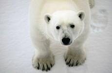 Classic Polar Bear Adventure