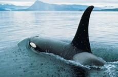 Grizzlies & Orcas of Vancouver Island