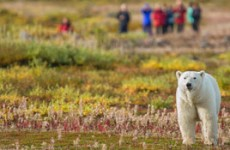 Polar Bear Mothers and Cubs