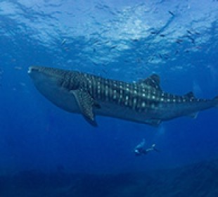 Escorted Whale Shark Scuba Special