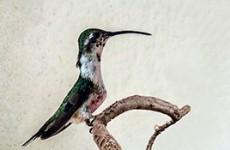 Mexico – Yucatan Endemic Bird Safari
