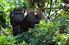 Bwindi Gorilla Encounter