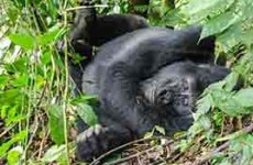 3-Days Mountain Gorilla Trekking
