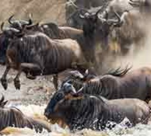 Decagon Safari: Great Wildebeest Migrations
