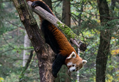 Red Panda Expedition