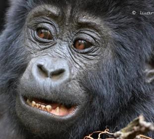 Rwanda to Uganda Gorilla Safari