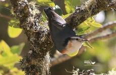 Myanmar Birding Tour