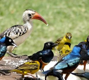 15-Day Kenya Birding Safari