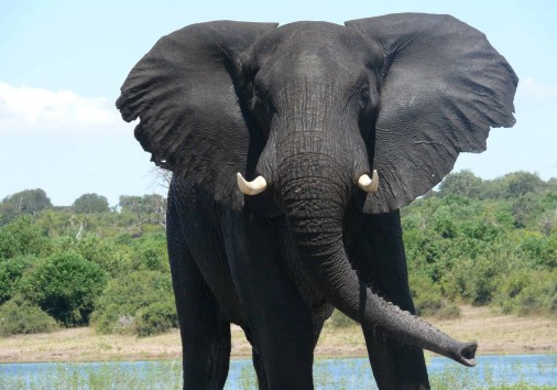 African Elephant In Chobe