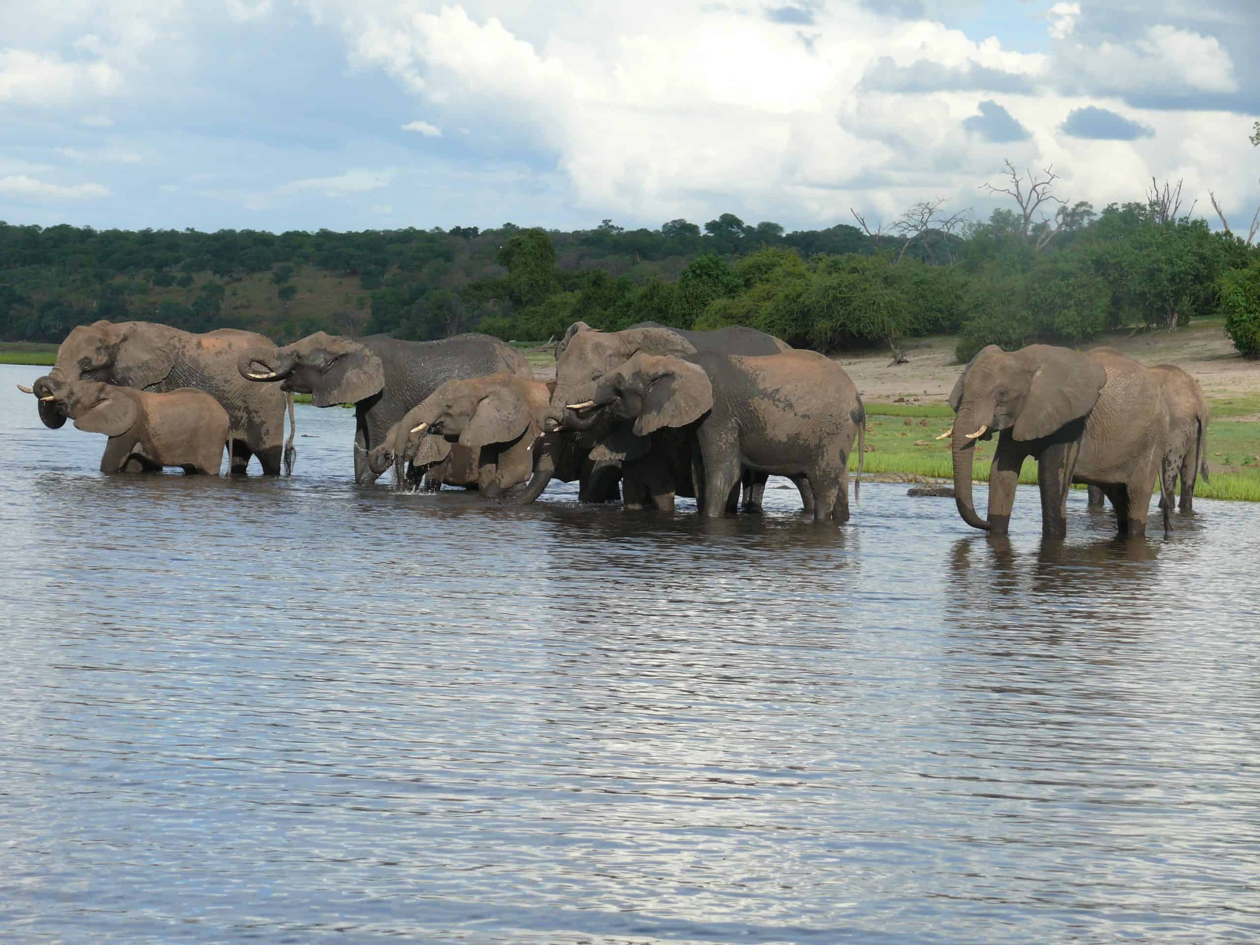African Elephants In Chobe (1)