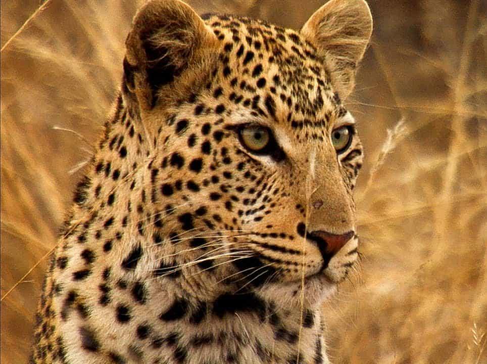 African Leopard1