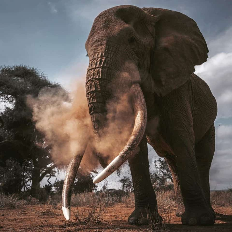 Amboseli Tusker 2