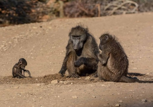 Baboon Family In Mahango