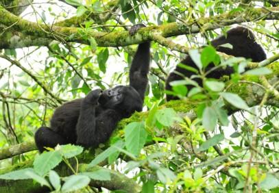 Exclusive Gorillas Tour