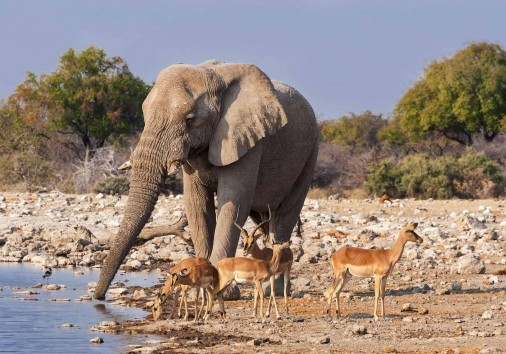 Group Of Impalas And A Male Elephant Drinking In A Waterhole In
