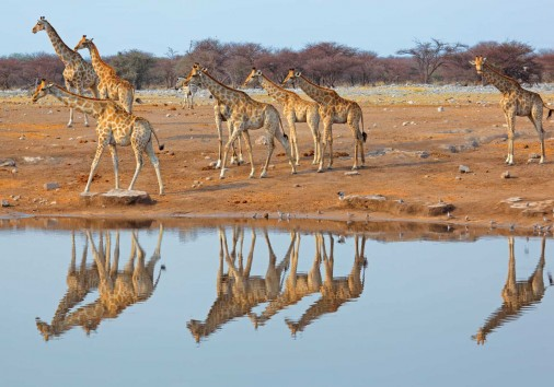 Giraffe Herd At Waterhole