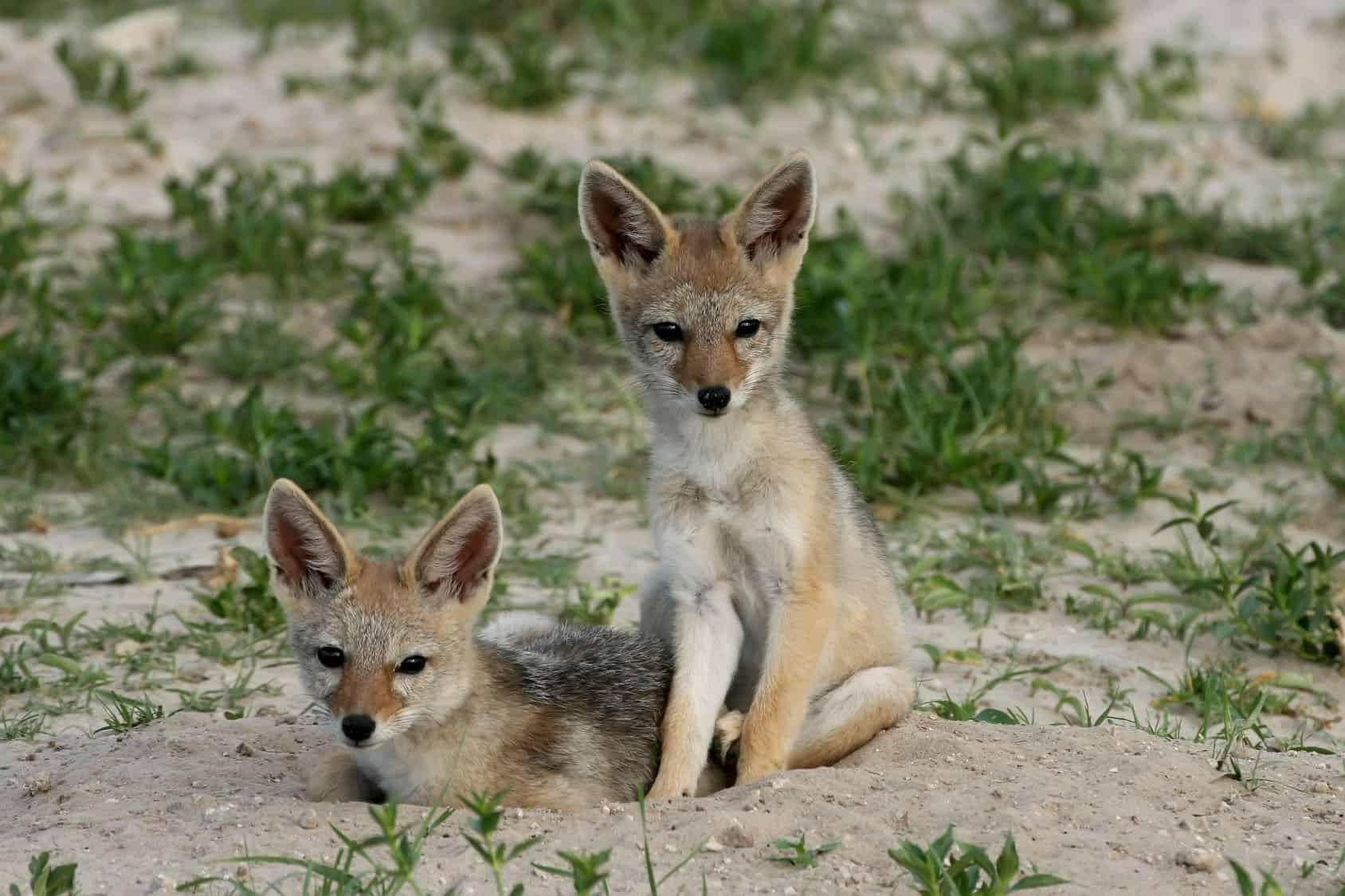Cubs Black Backed Jackal, Canis Mesomelas, Hwange National Park,