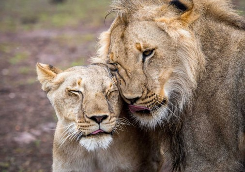 Lion And Lioness In Love Together In Zimbabwe, Africa