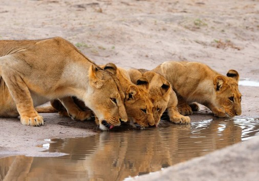 Lioness And Cubs Drinking