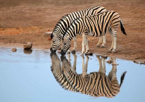 Plains Zebras Drinking Water
