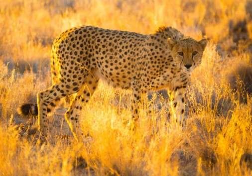 Cheetah In The Caprivi