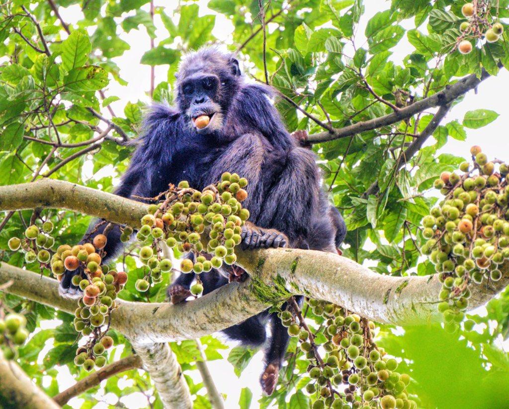 Chimpanzee Trekking Life Nyungwe Park