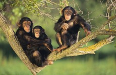 Uganda Primate Tour