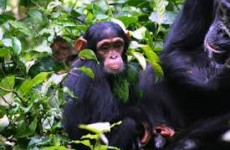 Chimpanzee, Wildlife and Gorillas Safari