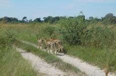 3-Day Camping Safari in Khwai Concession