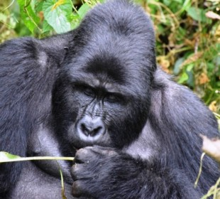 3 Days Gorilla Trekking Safari
