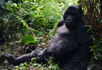 5-Day Uganda Gorillas and Chimps Habituation Experience
