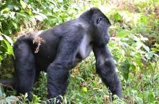 4-Day Uganda Gorillas and Chimps Trekking Safari