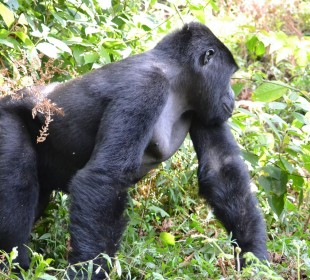 4-Day Uganda Gorillas and Chimps Trekking Safari