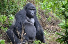 6-Day Kibale Chimps, Bwindi Gorillas and Wildlife Viewing