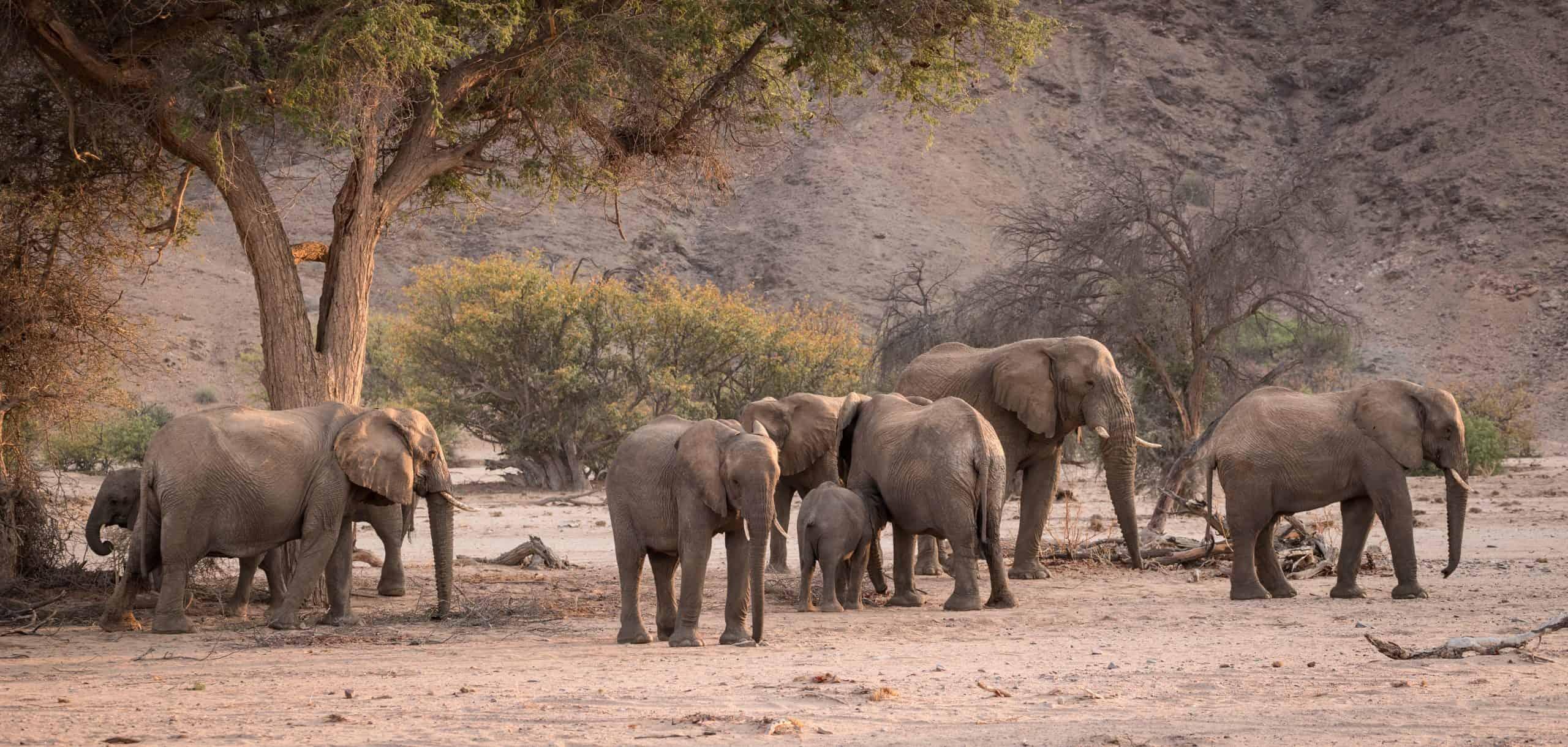 Damaraland Elephants