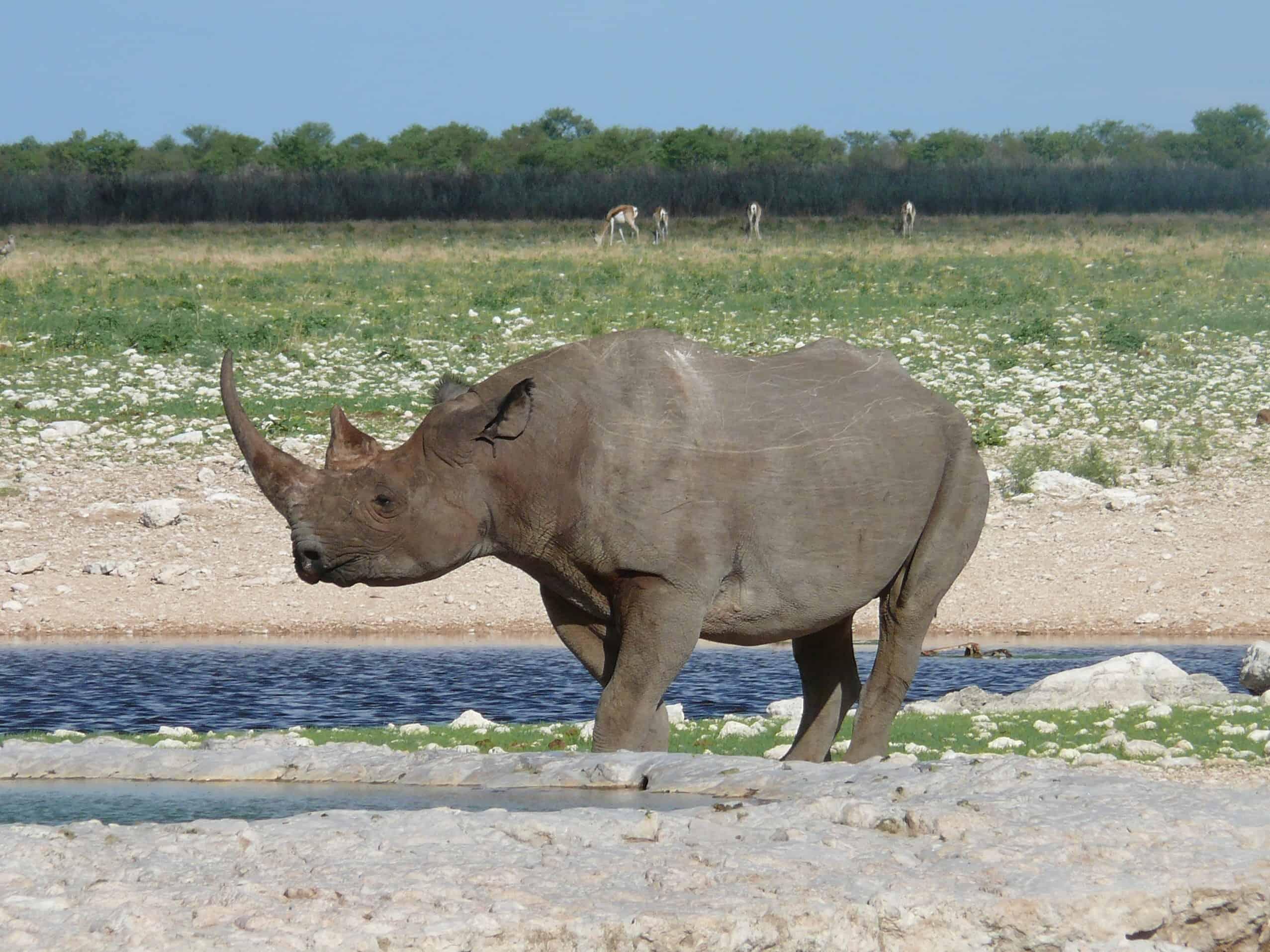 Etosha Black Rhinoceros