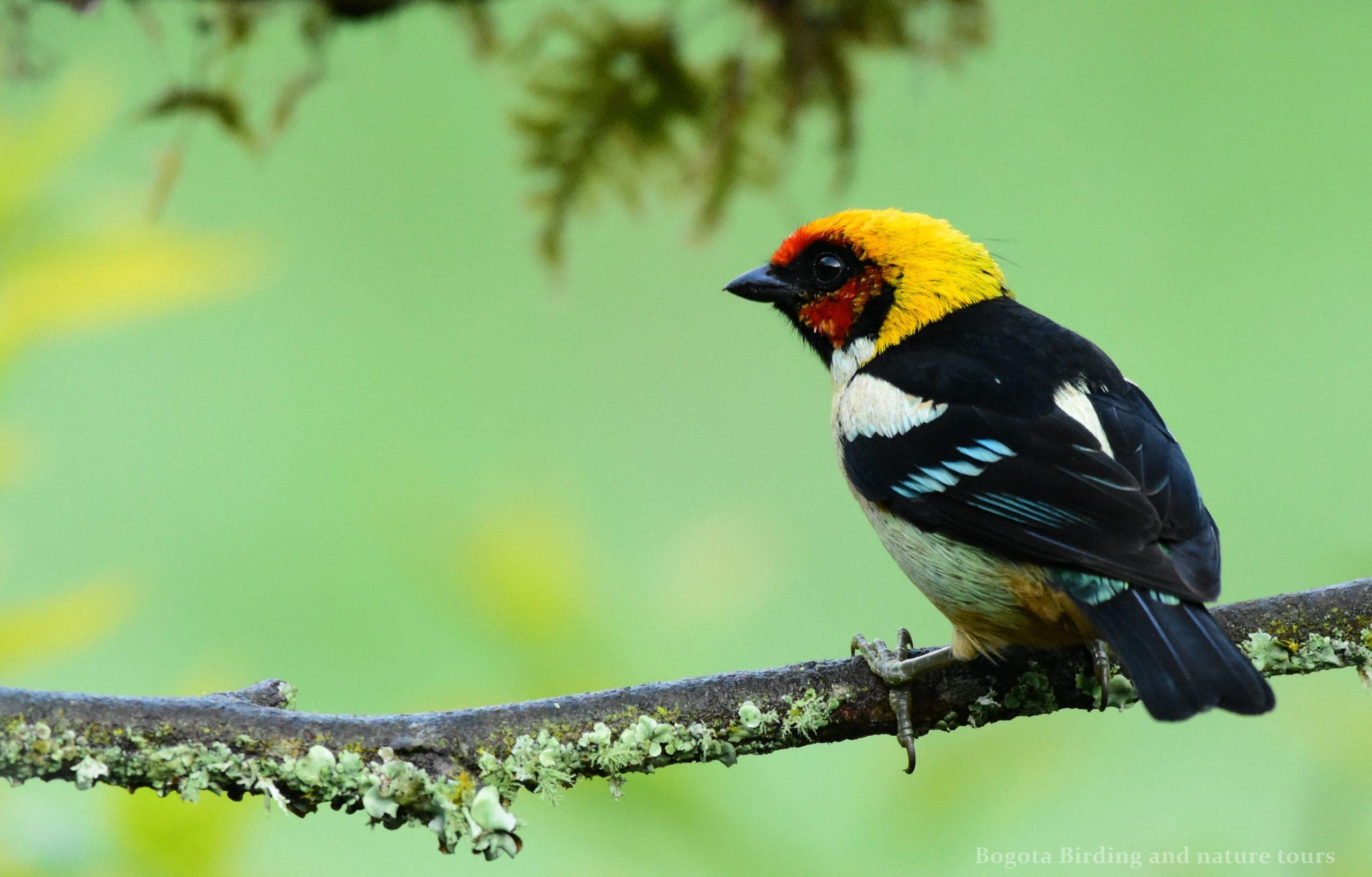 Flame Faced Tanager Tangara Parzudakii Tangara Cara De Fuego Birding Colombia
