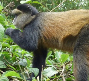 4-Day Mountain Gorillas & Golden Monkey Experience