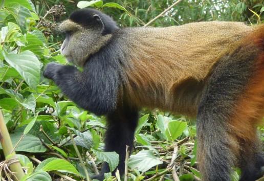 4-Day Mountain Gorillas & Golden Monkey Experience