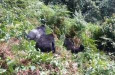 8-Day Gorilla, Chimpanzee & Lion Safari