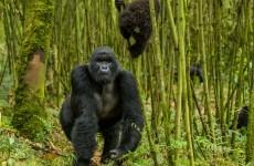 5 Days Rwanda Gorilla & Golden Monkey Safari